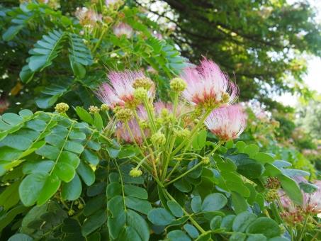 この木なんの木 気になる木 緑 草 花 葉っぱ 葉 自然 公園 風に煽られる 不思議な花 樹 樹木 MONKEY POD モンキーポッド サマンの木 アメリカネム 日立の樹 ハワイ オアフ島 ハワイイ モアナルア ガーデンパーク 森林 森林浴 沐浴