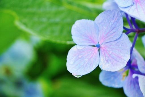 紫陽花 アジサイ 花 花びら 滴 しずく 雫 雨 雨上がり 水滴 水 瑞々しい フレッシュ 初夏 夏 自然 植物 風景 景色 壁紙 テクスチャ 背景 素材 癒し 優しい 優しさ 涼やか 涼しさ 涼しい 公園 青い blue ブルー 青紫 紫 青色 紫色 パープル 淡い 淡色 ドーム 半円 緑 緑色 green グリーン