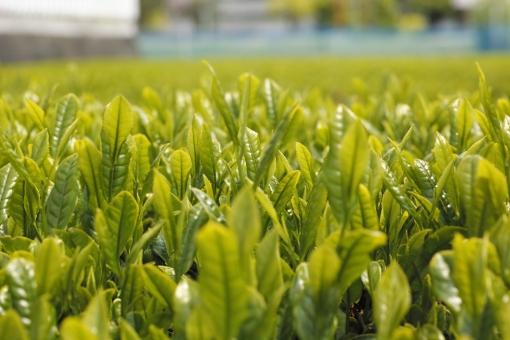 茶 緑茶 新緑 新芽 新茶 5月 若葉 茶畑 greentea 日本茶 煎茶 せん茶 初夏 和 茶の芽 芽 八十八夜