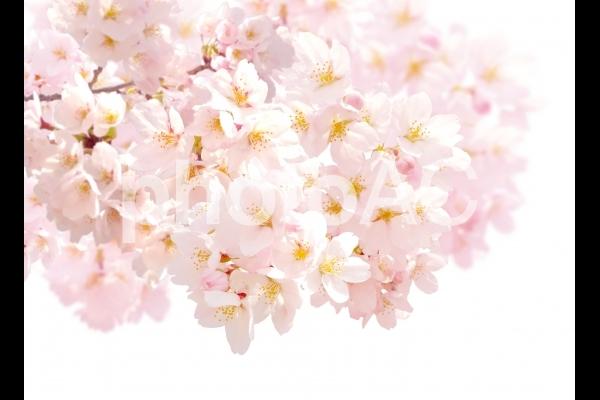 psd桜202001の写真