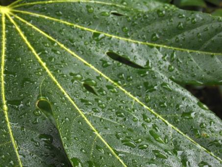 梅雨背景 6月 梅雨 陽射し 枝 木 樹木 加工 成長 育つ 伸びる 新緑 鮮やか コントラスト 無人 室外 屋外 景色 多い 密集 集まる 沢山 重なる ローアングル 見上げる 水泡 水 水分 アクア しぶき 潤い 湿度 湿気 液体 雫 表面 付着 雨 雨水 透明感 水色 テクスチャ テクスチャー 質感 素材 背景 eco バックグラウンド 植物 野菜 葉 葉っぱ 緑 グリーン ロータス効果 栽培 園芸 農地 雨上がり 露 水滴 しずく 朝露 夜露 結露 水玉 エコロジー 環境 自然 恵み 風景 アップ 接写 エコ