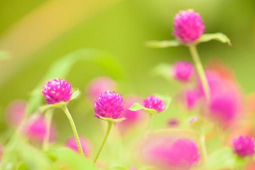 自然 植物 花 花びら 小花 桃色 ピンク 葉 葉っぱ 緑 茎 重なる 密集 多い 沢山 集まる 群生 咲く 開花 満開 開く 成長 育つ 伸びる 可愛い 綺麗 鮮やか ぼやける ピンボケ 加工 無人 室外 屋外 風景 景色 アカツメクサ