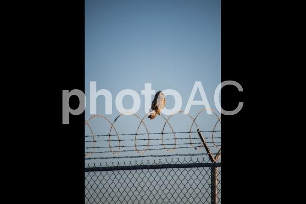 コミミズクがフェンスに留まる様子  バンク-バ- ブリティッシュコロンビア カナダの写真
