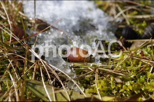 雪解けに現れたドングリ2の写真