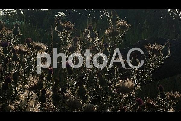 逆光のアザミの写真