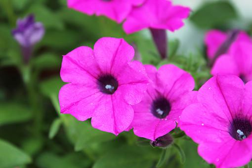 花  植物 フラワー 種子植物 花弁 花びら 生花 葉 葉っぱ 緑 草 心のやすらぎ ピンクの花 4月 5月 6月 7月 8月 9月 10月 紫の花 草花 赤紫 ナス科 ツクバネアサガオ