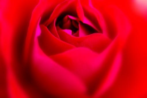 植物 自然 花 バラ ばら 薔薇 華やか 豪華 ゴージャス エレガント ローズ ローズガーデン 背景 壁紙 バラ園 薔薇園 花園 庭 公園 ブライダル ウエディング 結婚式 結婚 つるバラ 蔓バラ 蔓薔薇 明るい 赤 深紅 アップ クローズアップ 柔らかい ソフトフォーカス