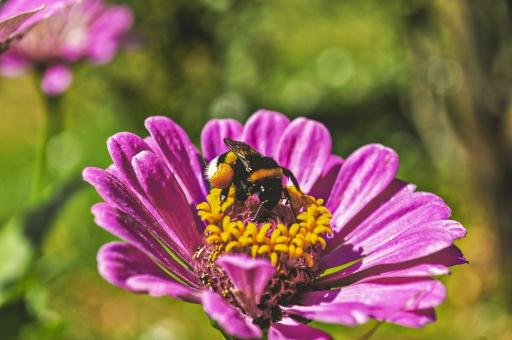 外国風景 海外 国外 外国 クロアチア 東ヨーロッパ ヨーロッパ 東欧 旅行 レジャー 観光 自然 緑 植物 花 花びら 咲く 楽園 風景 景色 葉 屋外 草 背景 背景素材 生える クローズアップ ピンク 蜂 ミツバチ 蜜 虫 昆虫 ハチ