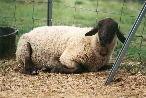satochi サトチ ヒツジ 羊 sheep 動物 animal 阿蘇 酪農 阿蘇らくのうパーク 熊本 ひつじ どうぶつ ドウブツ あそ アソ aso らくのう ラクノウ あそらくのうぱーく くまもと クマモト kumamoto