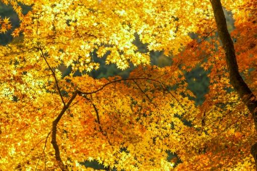 自然 植物 木 樹木 葉 葉っぱ 彩り 紅葉 もみじ 赤色 秋 10月 11月 山 森 林 森林 多い 密集 集まる 沢山 重なる グラデーション 見頃 見物 観光 観光客 旅行 アップ 撮影 景色 綺麗 鮮やか 屋外 室外 無人 風景