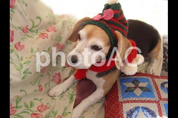 ワンちゃんのクリスマスの写真
