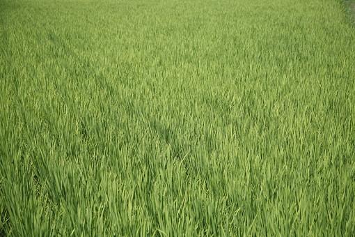 背景 テクスチャ テクスチャー バックグラウンド 背景素材 模様 ポスター 柄 デザイン 素材  装飾  イラストペーパー  デコレーション 一面 景色 風景 草むら 雑草 植物 畑 田園 田んぼ 農業 稲