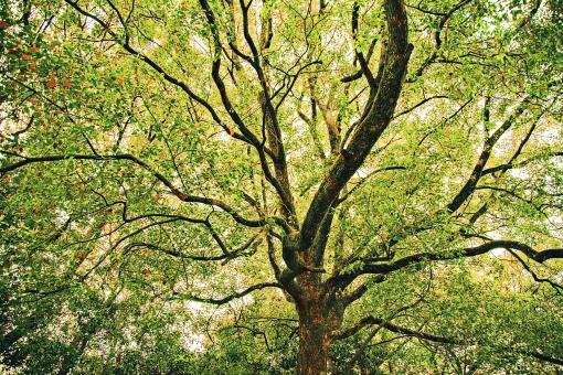 自然 植物 木 樹木 枝 葉 葉っぱ 緑 幹 茶色 爽やか 高い そびえる 成長 育つ 伸びる 太陽 太陽光 陽射し 木漏れ日 ローアングル アップ 一本 大木 加工 無人 風景 景色 屋外 室外 幻想的