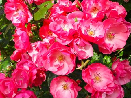 薔薇 ばら バラ バラの花 花 生き物 赤 ピンク バラ園 植物 きれい 癒し 美しい 背景 壁紙 テクスチャ テクスチャー 素材 背景素材 web素材 広告 コントラスト 風景 オープニング ムービー素材