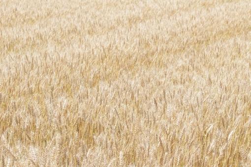 快晴 麦畑 大麦 ビール 食べ物 食材 農業 農地 小麦色 黄金色 金色 植物 風景 背景 素材 健康 5月 収穫前 成長