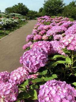 アジサイ 紫陽花 あじさい 花 開花 咲く 見頃 ピンク 晴れ 青空 通路 道 季節 ムラサキ 紫 自然 風景 景色 壁紙 背景 日差し 晴れ 植物 公園 紫陽花園 鮮やか 華やか