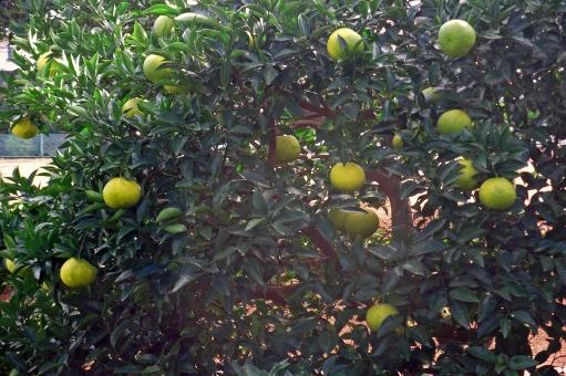 柚子 ゆず ユズ 柚 果実 柑橘 果物 季節 秋 秋の風景 秋の景色 緑 自然 樹木 草木 群生 樹木 木 植物