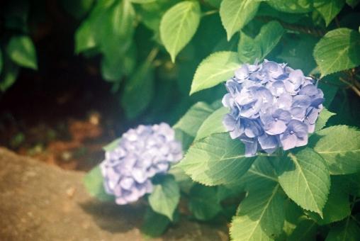 あじさい アジサイ 紫陽花 花 梅雨時 六月 水無月 青 緑