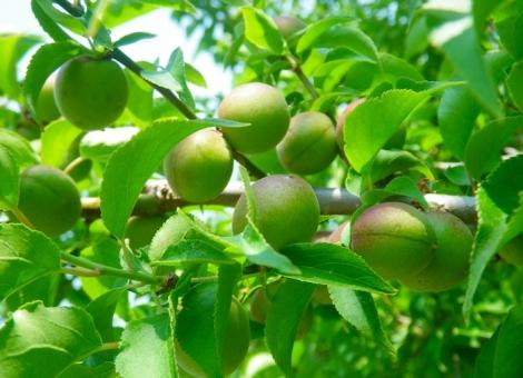 小梅 梅 青梅 紀州 梅干し 梅漬け 弁当 おにぎり おむすび 日の丸 梅酒 春 初夏 くだもの 果実 みどり