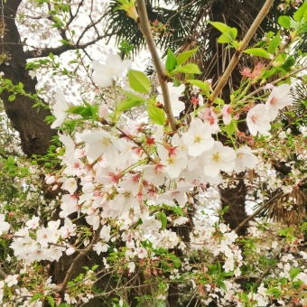 桜 さくら サクラ 木 春 3月 4月 卒業 入学 cherry blossom 花 植物 入園 卒園 入学式 卒業式 入園式 卒園式 入社 新人 新入社員 新社会人 お祝い 祝い 風物詩 風物 チェリー ブロッサム 和風 和 日本 キレイ 綺麗 きれい かわいい 可愛い カワイイ 葉 緑 ピンク 白 めでたい おめでたい おめでとう 出会い 別れ