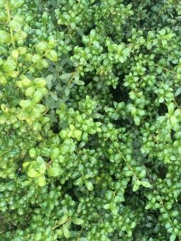 細かい葉 ツゲ つげ テクスチャ テクスチャー 壁紙 柄 模様 背景 緑 黄色 黒 自然 植物 葉 木 ネイチャー 黄緑