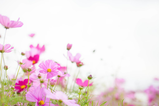 秋の風景 コスモス アキザクラ 秋桜 コスモス畑 花畑 花園 空 桃色 ピンク 緑 植物 花 草花 一面 満開 散歩 散策 自然 風景 景色 真心 のどか 鮮やか 華やか 美しい 可愛い 綺麗 明るい 余白 空間 ボケ味 ピントぼけ