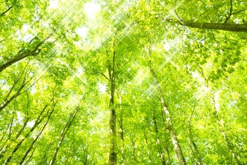 きらめくブナ林の写真