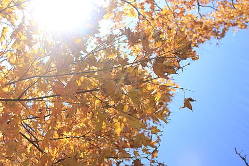 日本 国内 関東 関東山地 観光地 野外 ハイキング 森林浴 トレッキング 登山 山登り 登山道 山 野外 アウトドア 自然 風景 植物 樹木 木立 林 森林 広葉樹 落葉樹 木の葉 葉 紅葉 黄葉 枯れ葉 季節 秋 黄色 オレンジ色 陽光 陽射 空 青空 逆光 ローアングル