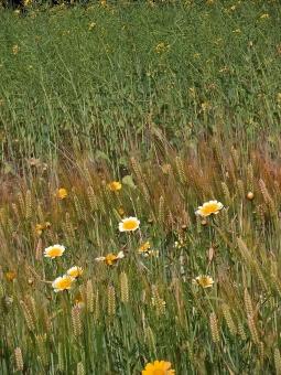 田園風景 原風景 風景 景色 懐かしい景色 懐かしい風景 秋の風景 秋の景色 草花 花 草木 草 植物 自然 麦 小麦 麦畑 畑 穂 農地 農業 ファーム 穀物 秋 季節