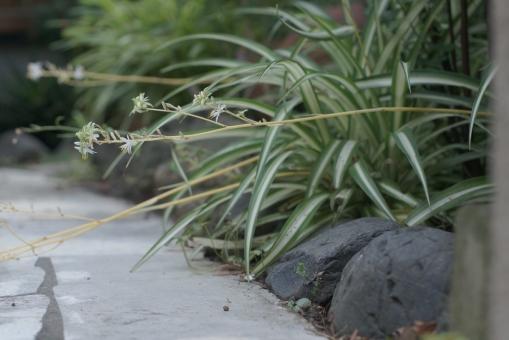 オリヅルラン ガーデン お庭 日影 アプローチ 外溝 花 涼しい 道ばた 初夏