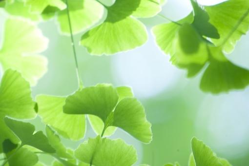 自然 植物 樹木 木の葉 葉っぱ 緑の葉っぱ 新緑 若葉 新芽の季節 初夏 夏 光透過光 木漏れ日 イチョウ ポストカード 暑中見舞い 待ち受け画像 森林 コピースペース バックスペース 背景 公園 野外アウトドア 新鮮な みずみずしい 四月・五月 六月・七月・八月 季節感 目に青葉