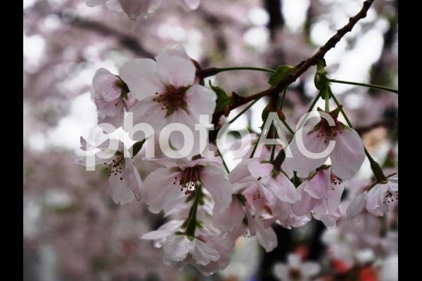 雨に濡れた桜1の写真