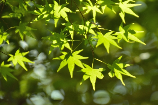 もみじ モミジ 青モミジ 青もみじ 光 透過 爽やか 初夏 空 清々しい 植物 枝 樹 影 陰影 明るい 若葉 新緑