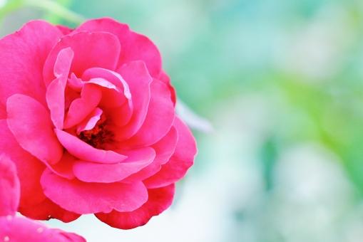 薔薇 バラ ピンクの薔薇 ピンクのバラ 花 花びら 重なり 植物 赤い 真っ赤 pink ピンク ピンク色 濃いピンク 情熱 小薔薇 刺 公園 風景 背景 壁紙 テクスチャ 素材 緑 緑色 green グリーン 美しい 綺麗 きれい キレイ ステキ 素敵 艶やか 華やか 鮮やか 大輪 一輪 香り 香水 甘い香り いい匂い 匂い 花言葉 かわいい 可愛い カワイイ 雅 洋花 存在感