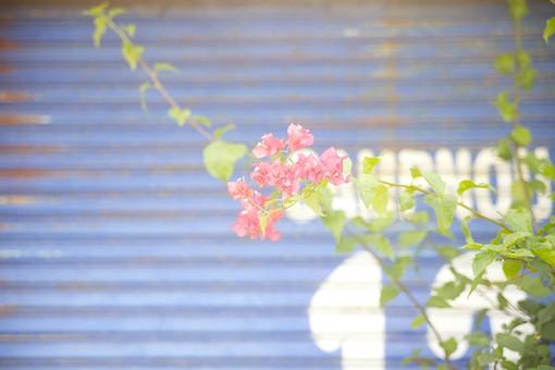 沖縄 ブーゲンビリア ブーゲンビレア 筏葛 魂の花 花 葉 苞葉 フラワー ピンク 南国 南の島 つる 植物 夏 情熱 薄情 熱心 魅力 花びら 熱帯 庭 園芸 トゲ ペーパーフラワー