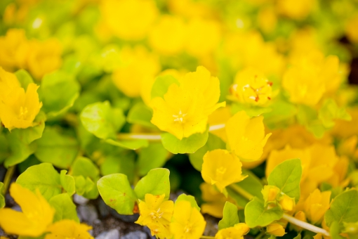 花 草花 黄色い花 春の花 季節の花 花びら 花弁 季節感 seasonimage シーズンイメージ 植物 季節の植物 緑 nature 風景 景色 黄色 黄 かわいい 柔らかい 暖か 自然 背景 コピースペース