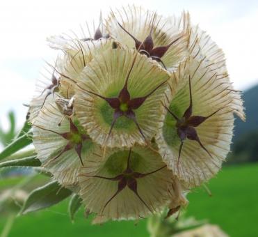 花 種 スカビオサ ドラムスティック 植物