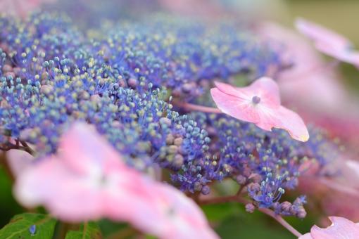 アジサイ 紫陽花 あじさい 花 植物 マクロ 拡大 横位置 余白 ピンク 紫 6月 雨 梅雨 色合い 湿度 天気 パステル 接写