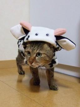ネコ 猫 ねこ 牛 ウシ コスプレ 衣装 仮装 可愛い かわいい 面白い おもしろい 目を開けた 被り物 家猫 飼い猫 室内猫 動物 立った 4つ足 1匹 ペット 顔 表情 丑 ちゃこ 洋服 着ぐるみ 年賀状 干支
