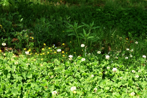 新緑 しんりょく 3月 4月 5月 6月 葉 葉っぱ 緑 黄緑 みどり きみどり 自然 綺麗 爽やか 見上げる 人気 植物 樹木 新鮮 森 林 公園 グリーン 暖かい 季節 若草色 若葉 木洩れ日 木漏れ日 こもれび 明るい 気分 最高 気持ちが良い 空気 クリーン 森林浴 背景 テクスチャ 壁紙 バックグラウンド ヒーリング リラックス 癒し マイナスイオン 初夏 リラクゼーション セラピー エコ eco アップ 接写 至近距離 小さな花 黄色い花 可愛い かわいい 花 小花 黄色 小さい 雑草 陰 かげ 影 木陰 涼しい 木 木の根元 根元 皮 白い花 シロツメクサ しろつめくさ 白爪草 クローバー ゆっくり 休む 春 夏 秋 冬
