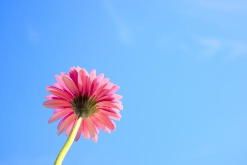青空 空 晴天 青 花 花びら 植物 ガーベラ ピンク 背景 背景素材 テクスチャ テクスチャー 自然