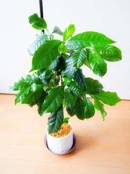 「コーヒーの木 無料写真」の画像検索結果