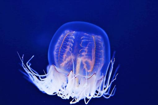 クラゲ くらげ ミズクラゲ みずくらげ 海月 水海月 オワンクラゲ 水母 水月 刺胞動物門 動物 浮遊生活 ゼラチン 触手 捕食生活 海の生き物 生き物 海 水族館 ペット 水中 有櫛動物 毒 透明 青バック