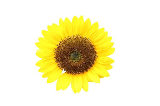 向日葵 花 夏 植物 フラワー 種子植物 花弁 花びら 生花 ヒマワリ 愛慕 崇拝 偽りの富 太陽の花 黄金の花 サンフラワー 日輪草 7月8月9月 サマー 黄色 イエロー   白背景 白バック ホワイトバック