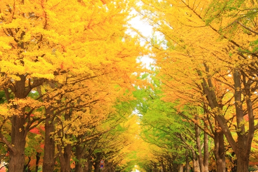 北大銀杏並木の写真
