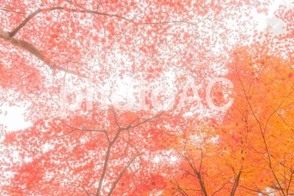 錦秋・京都絵巻!浄瑠璃寺の紅葉の写真