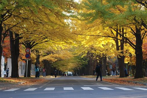 日本 国内 屋外 外 野外 風景 景色 景観 植物 樹木 木 イチョウ いちょう 銀杏 黄色 色づく 紅葉 黄葉 街路樹 並木 道路 人 横断歩道 木陰 逆光 秋