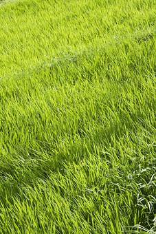 テクスチャ テクスチャー バックグラウンド 背景 素材 背景素材 芝生 自然 緑 植物 景色 風景 葉 葉っぱ 草むら 雑草 癒し 環境 エコ クリーン 緑地 一面 広場 春 新緑 田んぼ 稲