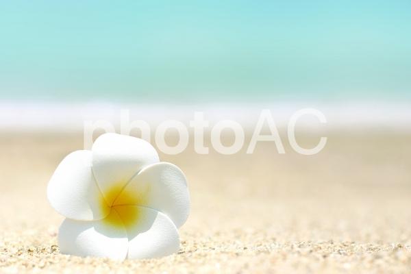 海辺 プルメリア1の写真