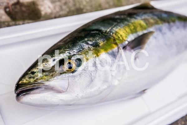 【魚・釣り】ブリの写真